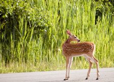 Whitetail Deer Fawn. A whitetail deer fawn standing in the road Stock Photo