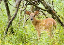 Whitetail Deer Fawn. A whitetail deer fawn standing in a thicket Stock Photo
