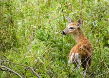 Whitetail Deer Fawn. A whitetail deer fawn standing in a field Royalty Free Stock Photography