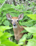 Whitetail Deer Fawn. A whitetail deer fawn standing in a thicket Royalty Free Stock Image