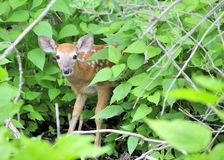 Whitetail Deer Fawn. A whitetail deer fawn standing in a thicket Royalty Free Stock Photography