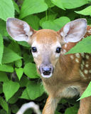 Whitetail Deer Fawn. A whitetail deer fawn standing in a thicket Stock Photos