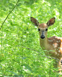 Whitetail Deer Fawn. A whitetail deer fawn standing in a thicket Royalty Free Stock Photo