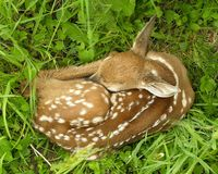 Whitetail Deer Fawn Royalty Free Stock Photography
