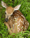 Whitetail Deer Fawn Royalty Free Stock Photos