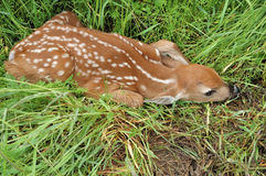 Whitetail Deer Fawn Stock Photography