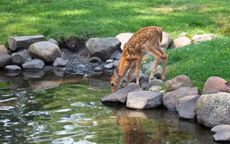 Whitetail deer fawn. Drinks water from a pond. Partial reflection may be seen. Summer in Wisconsin royalty free stock photo