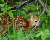 Whitetail deer fawn. Baby whitetail deer fawn hiding in the forest stock photography