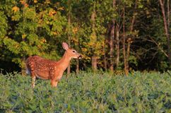 Whitetail Deer Fawn in Bean Field stock photography