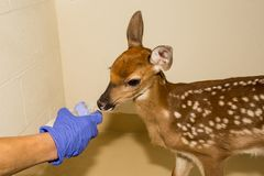 Whitetail Deer Fawn Rehabilitation royalty free stock images