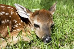 Whitetail Deer Fawn Closeup. Laying on a grass field stock photography