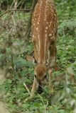 A  whitetail fawn grazing in the wood line in the early summer. royalty free stock photos