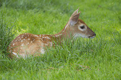 A Whitetail Deer Fawn in the grass Royalty Free Stock Photography