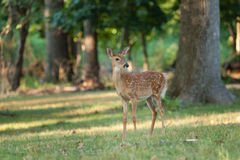 Whitetail Deer Fawn. A whitetail deer fawn grazes in the woods stock photos