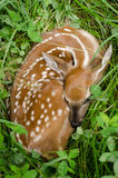 Whitetail Deer Fawn in Lush Green Clover Stock Photography
