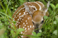 Whitetail Deer Fawn in Lush Green Clover Stock Images