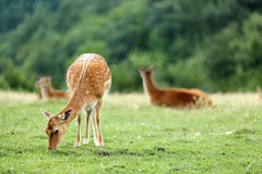 Whitetail deer fawn on a meadow in summer Royalty Free Stock Images