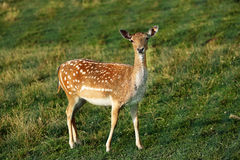 Whitetail deer fawn on a meadow in summer Stock Photos