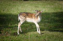 Whitetail deer fawn in nature Royalty Free Stock Photo