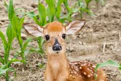 Whitetail Deer Fawn Stock Image