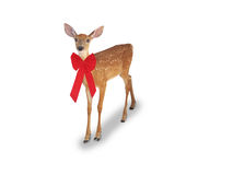 Whitetail Deer Fawn with red bow stock photography