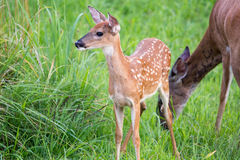 Whitetail deer fawn with spots. In green field near mother stock photography