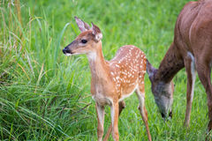 Whitetail deer fawn with spots. In green field near mother stock images