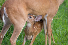Whitetail deer fawn with spots nursing. From mothers teat stock photography