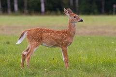 Whitetail Deer Fawn. With spots standing in a meadow Royalty Free Stock Photo