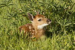 Whitetail Deer fawn. Spotted whitetail deer fawn laying by lupine in green field Stock Images