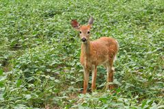 Whitetail Deer Fawn Standing In Bean Field. Cute whitetail deer fawn stands in a bean field during the early fall season Stock Images