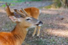 Whitetail Deer Fawn standing in the forest. Woods wildlife roebuck capreolus nature animal mammal young brown grass outdoor fur beautiful green park hunting royalty free stock photo