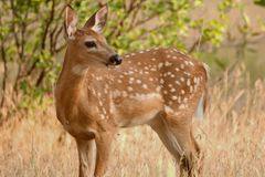 Free Whitetail Deer Fawn Standing In Tall Grass In The Spring Stock Images - 108114124