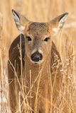 Whitetail Deer Fawn Standing in Marsh Royalty Free Stock Image