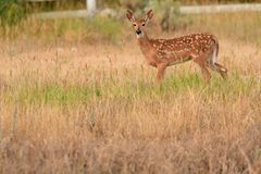 Whitetail deer fawn standing in tall grass in the spring. The Fawn still have the camouflage spots to help it hide in the grass from predators stock photo