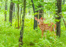 Whitetail Deer Fawn. Standing in the woods Royalty Free Stock Photography