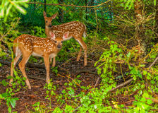 Whitetail Deer Fawn. Standing in the woods Stock Photography