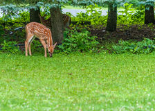 Whitetail Deer Fawn. Standing in the woods Royalty Free Stock Photos