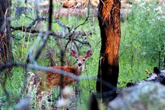 Whitetail deer fawn in the woods royalty free stock photography