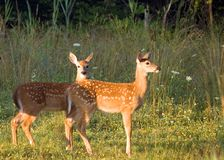Whitetail Deer Fawns Royalty Free Stock Photo