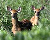 Whitetail Deer Fawns stock photography
