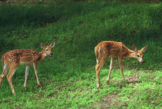 Whitetail Deer Fawns In A Meadow Stock Photos
