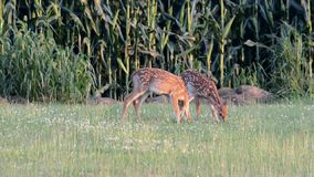 Whitetail Deer fawns twins Stock Photos