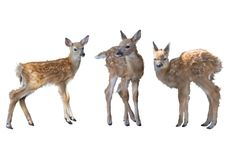 Whitetail deer fawns watercolor. Painting isolated on white background stock photos