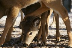 Whitetail Deer Feeding in a herd royalty free stock images