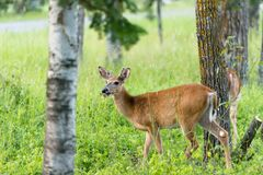 Whitetail Deer feeding near Pinawa Manitoba. This Whitetail deer near Pinawa Manitoba is enjoying his meal. Walking around the woods showing off his new antlers Stock Images