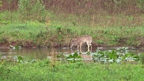 Whitetail Deer feeding on underwater plants. A Whitetail Deer feeding on underwater plants in a small lake during spring 2017 in Pennsylvania stock footage