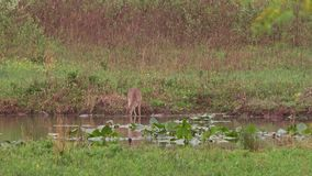 A Whitetail Deer feeding on underwater plants. In a small lake during spring 2017 in Pennsylvania stock footage