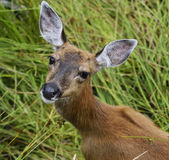 Whitetail Deer Female Royalty Free Stock Photography