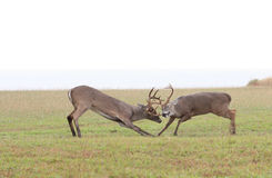 Whitetail Deer Fighting. This is a photo of two whitetail deer fighting Stock Photos
